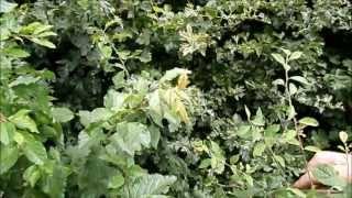 Video Blackthorn bush for sloe berries download MP3, 3GP, MP4, WEBM, AVI, FLV November 2017