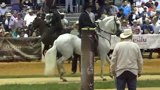 OCULTO DE LA SERRANIA - 2017 Spectrum Paso Fino Horse Show class 182 fino stallions 7 & over