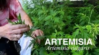 Plant Medicine Series: Artemisia (Mugwort/Cronewort)