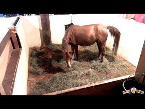 Bathsheba foaling 6/23/15