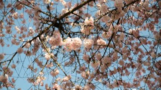 Vancouver's cherry blossoms have deep roots in Japanese culture