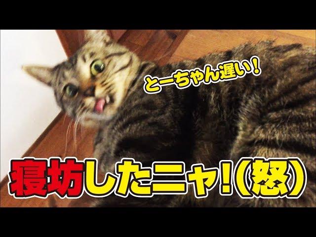父寝坊して猫さんに激怒される!