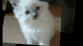Pets For Sale, Puppies, Kittens, Dogs, Cats, Rabbits, Horses, Buy and Sell Pets Online
