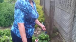 видео Проблемы с кустами жимолости синей