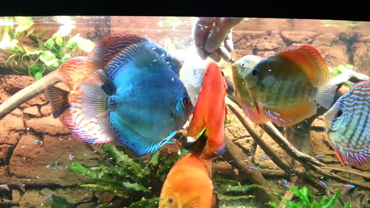 Discus Fish Tank 06 2013 tv aquarium part 1   YouTube