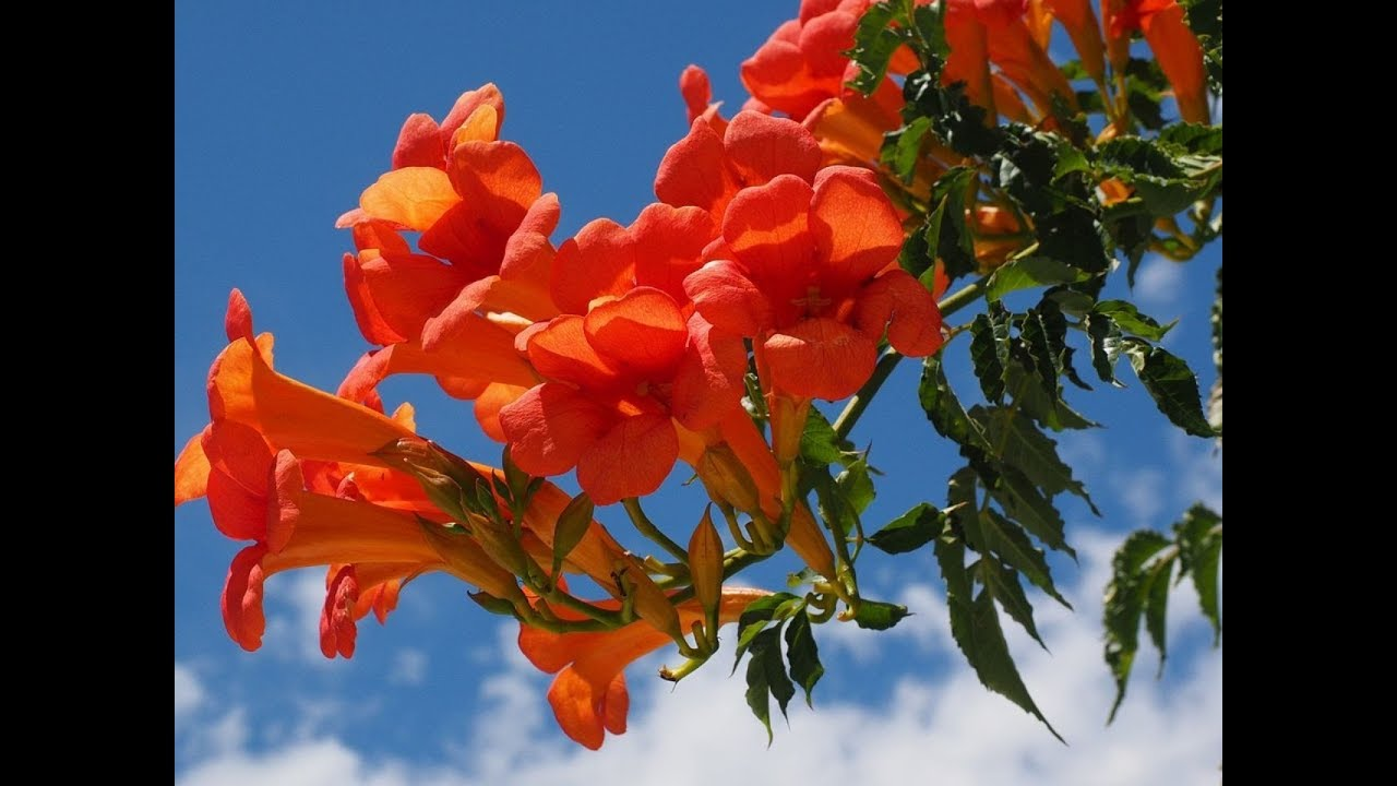 How to Care for a Trumpet Vine   houseofdesign.info