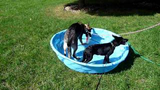 German Shepherds Eager to Get into Pool