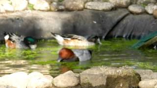 canards d'ornements et lentilles d'eau