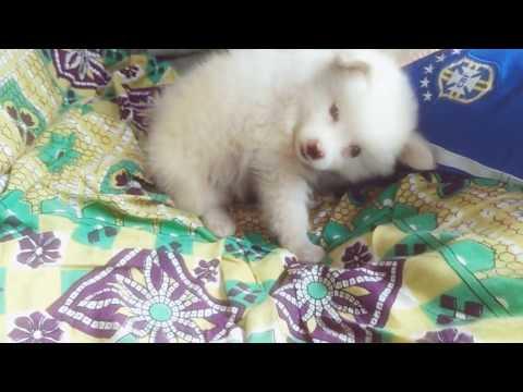 pomeranian-(dog)small-size-dog-in-india