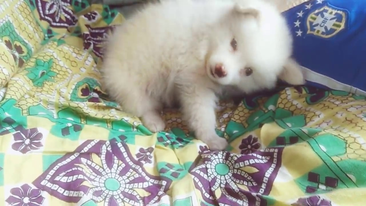 Pomeranian dogsmall size dog in india youtube pomeranian dogsmall size dog in india nvjuhfo Image collections
