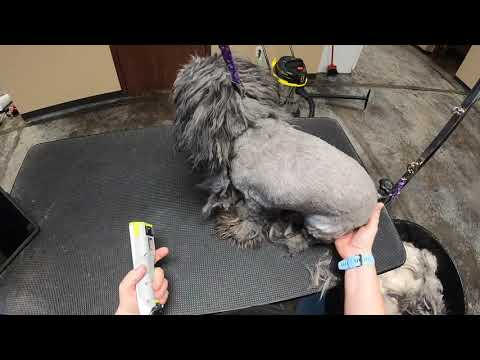 Very Long Coated Matted Shih Tzu Shavedown