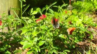 Butterflies-Swallowtails, Gulf Fritillary,Etc. Ocala, Fla. 8-13-