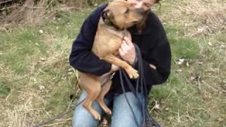 Saffie - Staffordshire Bull Terrier Avaliable For Adoption