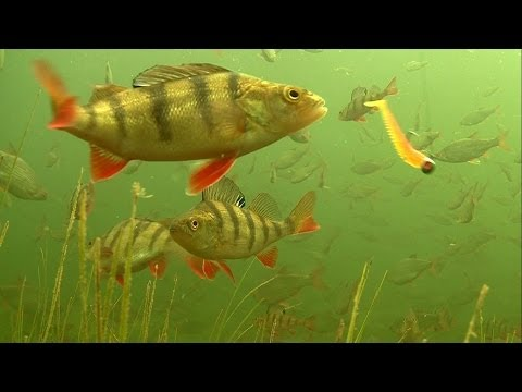 Perch Attacks: This Canal Is Full Of Fish. Fishing With Soft Bait.