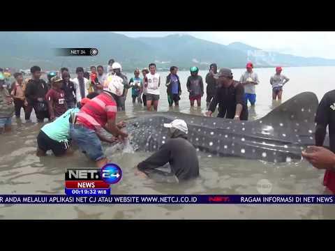 Hiu Paus Terperangkap Jaring Nelayan Di Perairan Teluk Palu - NET24