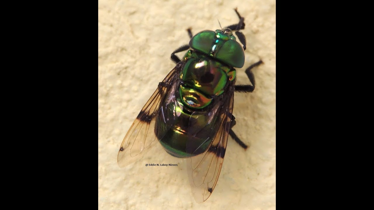 Mosca Verde (Ornidia obesa) Green Hoverfly - YouTube