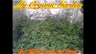 My Organic Garden- Ep:4 KyRock Farms Sour Diesel Clones