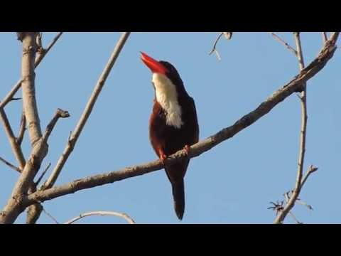Call Of White-throated Kingfisher