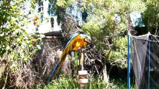 blue and gold macaw drying off after his shower