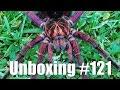 Tartan Tarantulas Unboxing #121 'P. Platyomma'