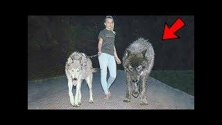 6 PERROS IGUALES A Los LOBOS Y Que PUEDES TENER | Razas de perros muy parecidos al Lobo