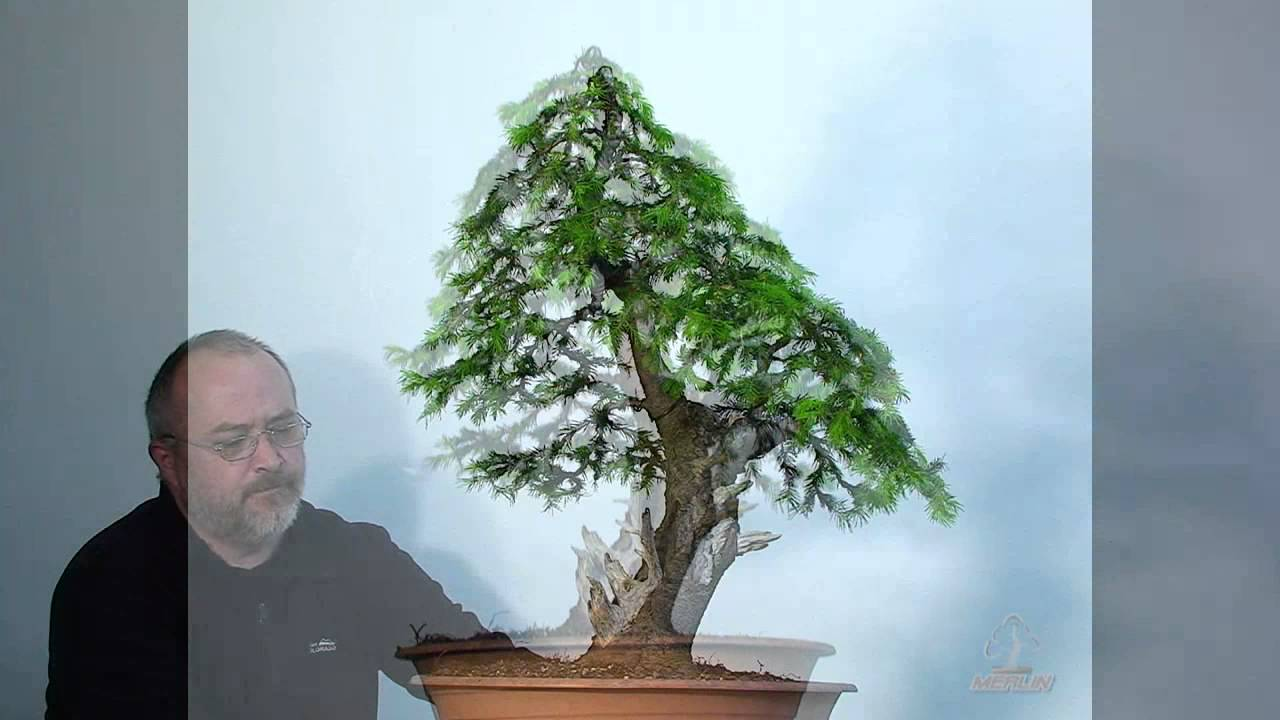 bonsai erstgestaltung einer fichte by merlin youtube. Black Bedroom Furniture Sets. Home Design Ideas