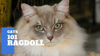 Ragdoll Cats 101  Cat Breed And Personality