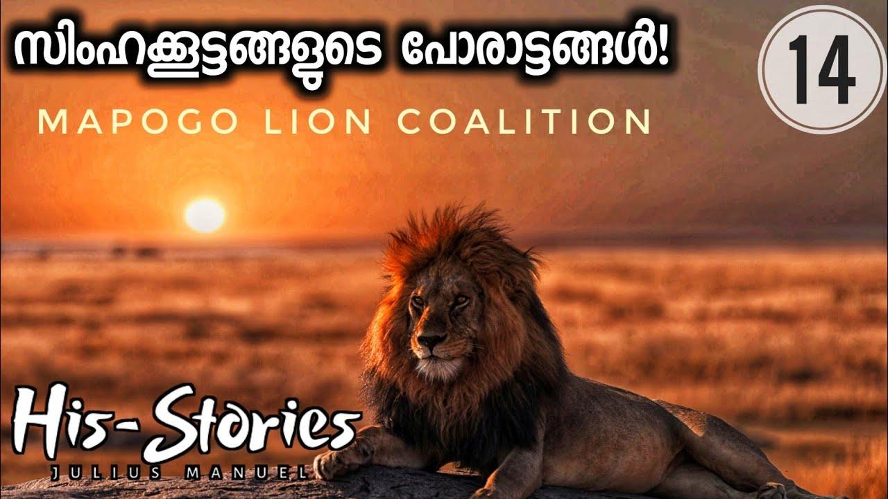 THE MAPOGO LION COALITION | WAR OF LIONS | HIS-STORIES | JULIUS MANUEL