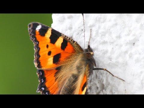 Von Der Raupe Zum Schmetterling, Kleiner Fuchs