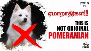 Ushaarrr !! This is not original POMERANIAN |  தமிழ் | Petflix Tamil
