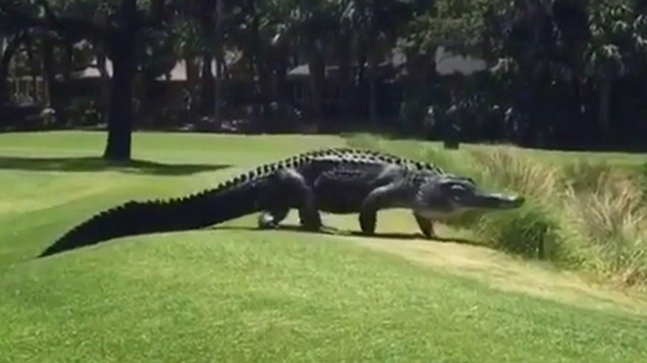 Giant Alligator Walks Across Florida Golf Course - YouTube