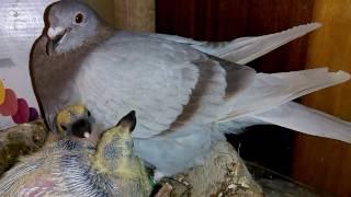 Odsadzanie młodych gołębi w hodowli doświadczalnej