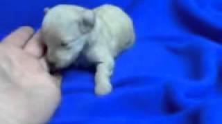 Toy Poodle White Female
