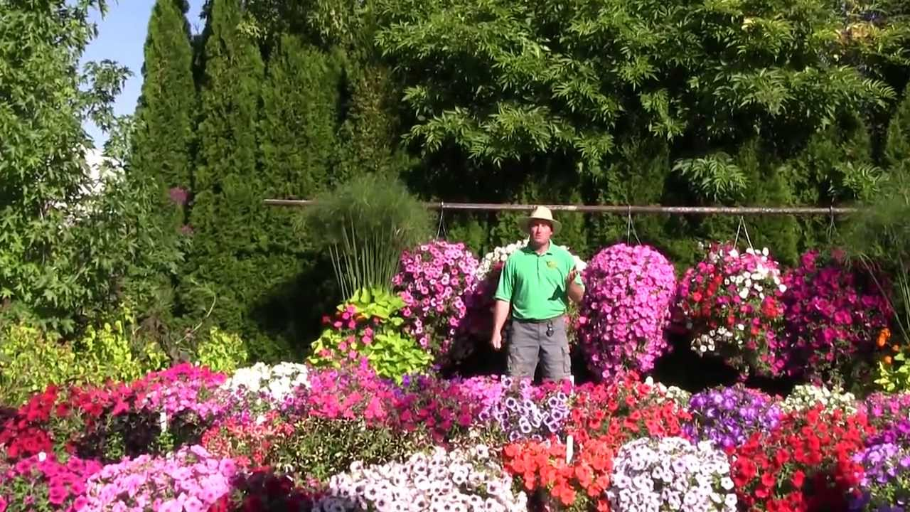 Trailing Petunia Part 1 Youtube