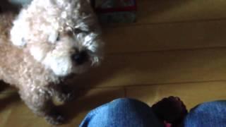 おもしろ動物動画 しゃべる犬(´◉◞౪◟◉) いぬ、犬、かわいい、可愛い、ね...