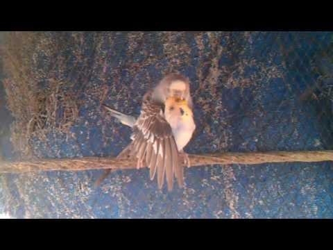 Love bird mating
