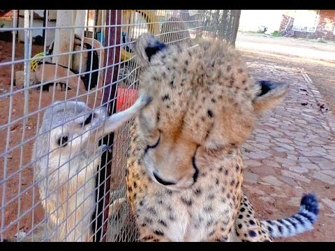 African Cheetah Versus Meerkats | Big Cat Gets Small Animal to Groom Him & Then Purrs | Loves It