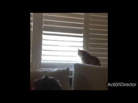 Sheri Van Dyke - I Am WATCHING BIRDS!!  Cat Keeps Opening Blinds!