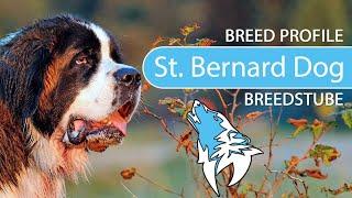 Saint Bernard Dog Breed, Temperament & Training