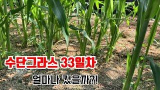 녹비작물 수단그라스 파종 33일차 | 토양염류제거 | …