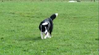 Kiara Border Collie corriendo