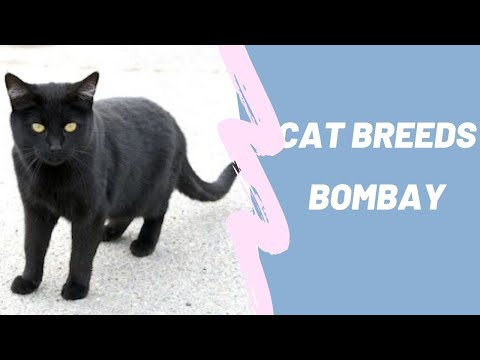 BOMBAY - CAT BREEDS
