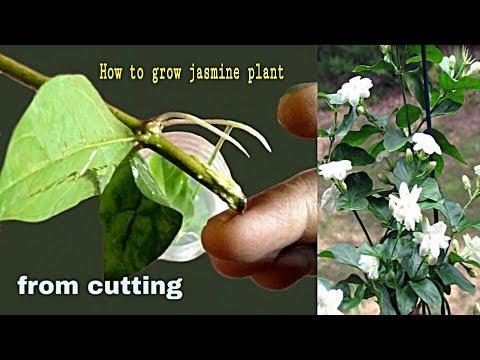 How to easy grow jasmine plant cutting।জুঁই ফুল গাছের শাখা কলম করার নিয়ম