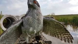 Обучение ястреба-тетеревятника. День 1. Ловчие птицы.