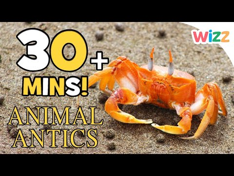 Animal Antics | Let's Look at Crabs | Animals for Kids | 30+ mins of Animal Fun