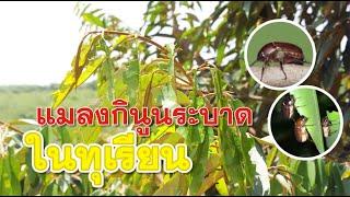 มุมหมอพืช EP.23 : แมลงกินูนระบาดในทุเรียน สนใจติดต่อ Line ID : @unilife โทร.023995555