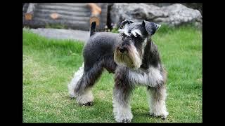 ミニチュア・シュナウザーはドイツ原産の小型作業犬です。見た目の可愛...