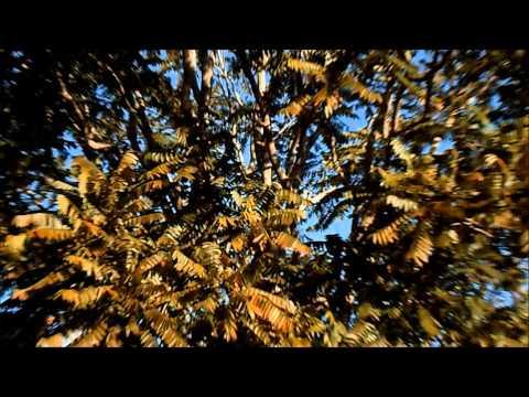Brazilian Cedar Tree