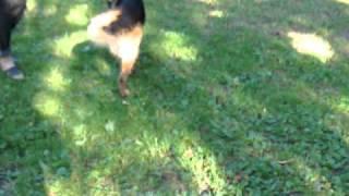 Результат остеопатического лечения собаки.MP4