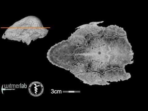 Visible Interactive Pachycephalosaur - Stegoceras - horizontal slice